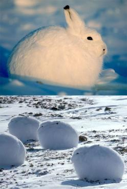ARCTIC HARES - Arctic hares look like rabbits but have shorter ears, can stand up taller, and can live in colder places. They live in the tundra regions of Greenland and the northernmost parts of Canada. They dig holes under the ground or snow to keep war