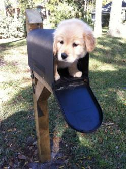 awww: Animals, Dogs, Golden Retrievers, Pet, Puppys, Puppy, Mailbox