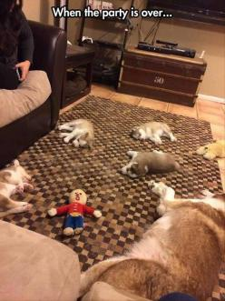 Awww: Puppies, Animals, Party'S, Dogs, Funny Pictures, Parties, Puppys, Husky, Funnies