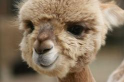 baby lama.: Babies, Flames, Adorable Animals, Alpacas, Baby Alpaca, Baby Animals, Smile
