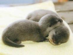 baby otters!!: Babies, Baby Otters, Adorable Animals, Pet, Baby Animals, Sea Otters, Babyotters, Otter Babies