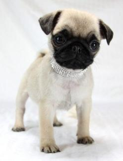 Baby pug: Animals, Dogs, Pug Puppies, Pets, Baby Pugs, Friend, Silver Lining