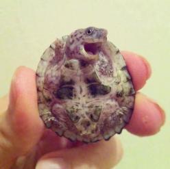 baby turtle: Babies, Animals, Stuff, Adorable, Things, Funny Animal, Smile, Baby Turtles