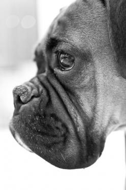 Beautiful boxer: Face, Boxer Dogs, Pet, Boxers, Boxerdog, Animal, Eye