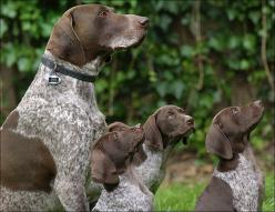Begging For Affection  .. Here we are!  We are the GSP family you ordered!: German Shorthair, Animals ღ, Animals སེམས ཅན, Shorthair Pointer, Gsps, Art Ink Dogs, Gsp Dogs, Beautiful Dogs