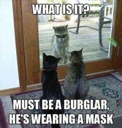 Black cat and gray cat could totally be Dash and Violet, except that they are confused and don't know what a raccoon is. Cam has them trained to attack raccoons, NO QUESTIONS ASKED.: Funny Animals, Cats, Funny Cat, Funnyanimal, Burglar, Funny Stuff, H