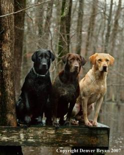 black, chocolate, yellow. so beautiful.  I wish I could have one or two!!: Labrador Retriever, Labs, Dogs, Puppy, Friend, Animal