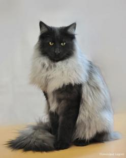 Black smoke skogkatt - amazing looking cat!: Forests, Cats, Beautiful Cat, Kitty Cat, Animals, Norwegian Forest Cat, Kitty Kitty, Black Smoke