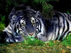 Blue Tiger - Maltese Tiger: Animals, Big Cats, Maltese Tiger, Bigcats, Beautiful, Wild Cats, Blue Tigers