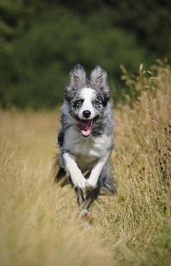 Boing boing Border Collie: Australian Shepard, Photos, Border Collie, Kwizz, Rodeo, Cattle Dogs, Angels Dogs, 3Animals 3