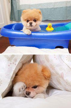 boo : the worlds cutest dog (via dog milk) Ali wants one.  I said ok.  It's a GUND!  Ho! Ho! Ho!: Boo Dog, World S Cutest, Cutest Dogs, Pet, Worlds Cutest, Pomeranian, Bath Time, Animal