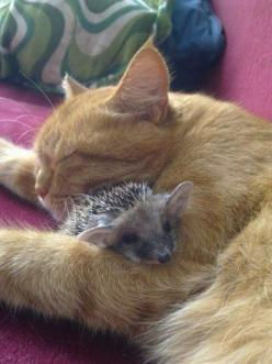 Cat adopts baby hedgehogs. *  I can't imagine our cat and hedgehog doing that. Cute: Cats, Animals, Kitten, Pet, Friendship, Odd Couple, Baby Hedgehogs, Animal Friends, Kitty