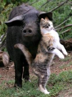 Cat and pig?  I think the cat is just using the pig for her own pleasure. Shame on that cat.: Picture, Cats, Animals, Best Friends, Pigs, Cat Love, Creatures, Odd Couples, Animal Friendships