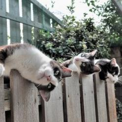 "* * CAT ON LEFT: "" Still waitin' on de bully kitteh who bit off de tip o' meez ear. I haz reinforcementz nowz to batter."": Cats Cats, Kitty Cats, Animals, Silly Cats, Cats Hanging, Chat, Dog, Feline"
