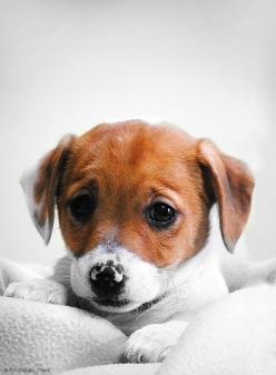 Check out our Caring for Animals collection; 7% of proceeds help find homes for adorable little guys like this one <3 www.mooreaseal.com: Doggie, Jack Russells, Animals, Dogs, Pet, Puppys, Jack O'Connell, Friend