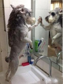 Checking out that new haircut. | 32 Dogs That Are More You Than You Even Are: 32 Dogs, Miniature Schnauzer, Animals, Pets, Schnauzers, Funnies, Funny Animal, Dog Haircut