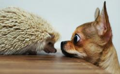 chihuahua and hedgehog.....I'll bark loud if you come any closer!!!!: Hedgehog, Animals, Chihuahuas, Dogs, Pet, Cute Chihuahua Picture, Hedgie, Friend