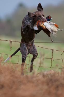 Chimney Smoke: Hunting Dogs, Shorthaired Pointers, Shorthair Pointer, Gsps, German Shorthaired Pointer, Upland Hunting, Gsp S, Animal