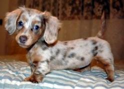 Chocolate dapple long haired dachshund - adorable baby: Long Haired Dachshund, Dapple Long, Chocolate Dapple, Dachshund Puppies, Adorable Baby, Long Hair Dachshund, Animal