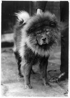 """Chow Chow- """"Lion Dog"""" c.1920 (Antique-Old)- 8x10 Dog Reproduction Photo: Photos Black, Vintage Photographs, Chow Chow Dogs, Historic Dogs, Animal Photos, Dog Historical Antique Vintage"""