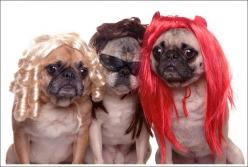 Community Post: 50 Hilarious Dogs In Wigs: Animals, Dogs, Pets, Funny, Pugs, Redhead, Funnies, Wigs, Brunette