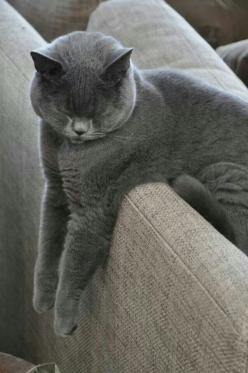 Conked out on the couch: Russian Blue, Animals, British Blue, Cat Nap, Gray Cat, Blue Cat, Pets, Kitty, Grey Cats