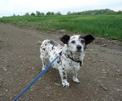 Corgi-dalmatian mix. And more of the best dog mixes ever. Ever.: Corgis, Dalmatian Mix, Animals, Dogs, Corgi Dalmatian, Dalmatians, Corgi Dalmation