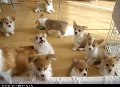 Corgi puppies, so adorable, if I ever got a dog this is probably the breed that I would get. : ): Corgis, Animals, Cuteness Overload, Baby Corgi, Dogs, Pet, Corgi Puppies, Puppys, Corgi S