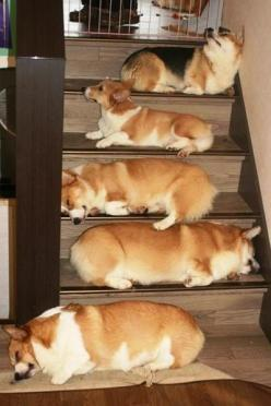 Corgis - Cutest stairway ever: Corgis, Corgi Steps, Animals, Dogs, Corgi Heaven, Corgi Stairs, Funny Corgi, Stairways