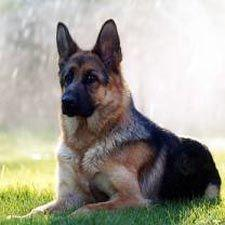 Courage:  1. the quality of mind that enables one to face difficulty, danger, etc., without fear; bravery. 2. see also German Shepherd: German Shepherd Dogs, Animals, German Shepards, Pet, German Shepherds, German Sheperd, Friend