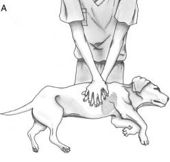 CPR for dogs (cardiopulmonary resuscitation) » DogHeirs | Where Dogs Are Family « Keywords: CPR, emergency, cardiac massage, cardiopulmonary resuscitation: Doggie, Dogs And Cats, Pet, Dog Cpr, Vet Tech, Cpr Technique, Dog Stuff, New Dog Owner