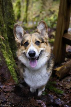 craigd:  Happy Guinness on Flickr. Via Flickr: Guinness loves the woods. He really liked this hike up near Wallace Falls. I loved how his head looks huge in this photo.: Corgis, Welsh Corgi, Happy Guinness, Dogs, Corgi S, Puppy, Photo, Friend, Animal
