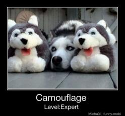 Cute (& smart): Animals, Dogs, Stuff, Pets, Husky, Things, Funny Animal, Camouflage