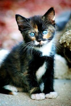 Cute Kitten. Second Hope Circle helps special needs pets in Ontario find homes through promotion, education and funding! www.secondhopecirle.org: Animals, Pet, Beautiful Eyes, Kitty Kitty, Blue Eyes, Calico Cats, Cats Kittens