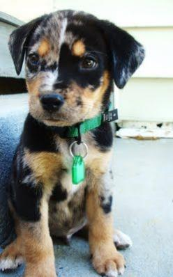 CUTE! Saw one of these at team penning, and I've been in love ever since. How do you say no to that face?! (It's a Catahoula.): Face, Animals, Dogs, Leopards, Box, Catahoula Puppy, Leopard Dog