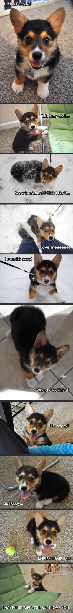 Cutest puppy ever almost.: Corgis, Cuteness Overload, Happiest Dog, Dogs, Funny Pictures, Puppy, Animal, Pancake