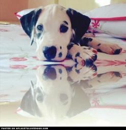Dalmatian Puppy • APlaceToLoveDogs.com • dog dogs puppy puppies cute doggy doggies adorable funny fun silly photography Via @daibertollo: Dalmatian Puppies, Dalmatians 3, Dogs Puppy, Animals Funny Things, Dalmatian Puppy Click, Dalmatians Spotted Cuteness