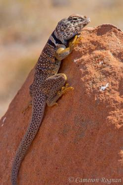 Desert Collared Lizard: Reptiles Lizards, Lizard Iguana, Desert Lizards, Iguanas Reptiles, Frogs Lizards Snails, Lizard Photo, Lizards Snakes Etc, Insects Lizards Snakes Frogs