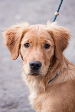 dog #golden #goldenretriever #dog: Dogs, Golden Retrievers, Pet, Baby, Friend, Animal