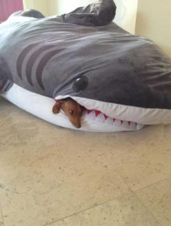 Doggy's favorite place to sleep.: Animals, Dogs, Stuff, Dachshund, Favorite Place, Doxie, Funny, Dog Beds, Sharks