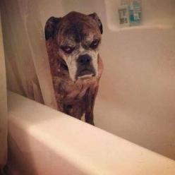 Dont mess with me after my bath or there could be an issue!!! lol (somebody hates bathtime): Funny Animals, Dogs, Boxer, Funny Stuff, Funnies, Grumpy Cat, Bath Time