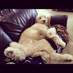***Dooodlelove EveryWhere***           ....just try to move me.... Such a hussy!: Goldendoodles Annie, Goldendoodles Rock, Labradoodle Goldendoodle, Doodle Dog, Photo, Naps, Friend, Golden Doodles
