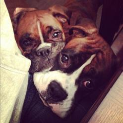 Double trouble, but double the love too. OMG I need another boxer for Georgia to cuddle with.: Boxer Dogs, Boxers Dogs, Boxer Puppies, Dogs Boxers, Boxers Animals, Boxer Babies, Face Boxers