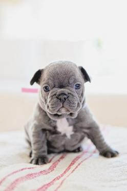 Dreamy Whites: Vintage Belgian Sleigh Bells, A Vintage Gray French Trunk, Bleu the French Bulldog, and a Winner: Animals, Bulldog Puppies, French Bulldogs, Pet, Puppys, Frenchbulldog, Box, Frenchie