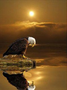 Eagle at sunset