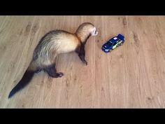 everytime im in a bad mood, i go play with my ferret, caspian, and hes the most comical thing ever