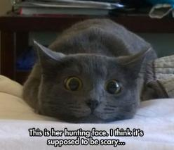Fear Me!!!  Umm.. Okay ... this is me being very afraid ... No, that was not a giggle ...it was ... terror ...: Funny Animals, Russian Blue, Hunting Face, Funny Pictures, Funny Cats, Funny Stuff, Kitty, Cat Lady