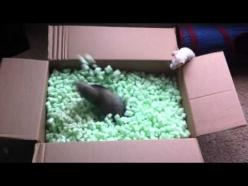 ​Ferrets Flip Their Shit Over Box Full of Packing Peanuts - To be fair, I would probably respond the same exact way.: Cute Ferret, Ferrets Playing, Animals Pets, Animals Ferrets, Peanuts Video, Boxes, Animal Videos