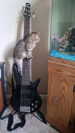 """* * FISH: """" Due to meez bein' safe; why doncha strums meez a song of de sea?"""" CAT: """" I don'tz knows howz to play dis thing ands all I knowz iz  Popeye De Sailor Man."""": Kitty Cats, Animals, Funny, Bass Fishing, Kitty Kitty, Guitar,"""