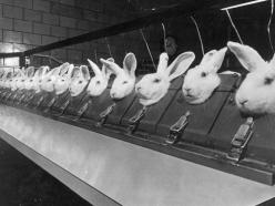 Forced to Suffer: The reason why animal testing is done on rabbits is because they are the only animal who can not flush chemicals out of their eyes without using aids like water or their paws.: Animal Rights, Rabbits, Animal Testing Pictures, Hair Sprays